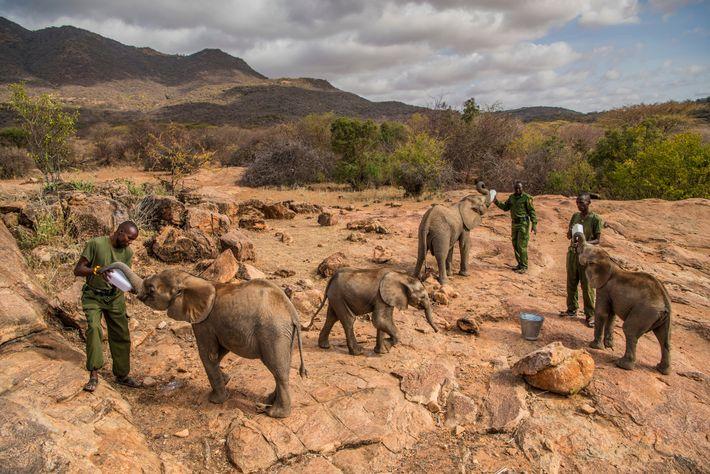 C'est l'heure du repas pour les éléphants orphelins affamés du Reteti Elephant Sanctuary, un refuge situé ...