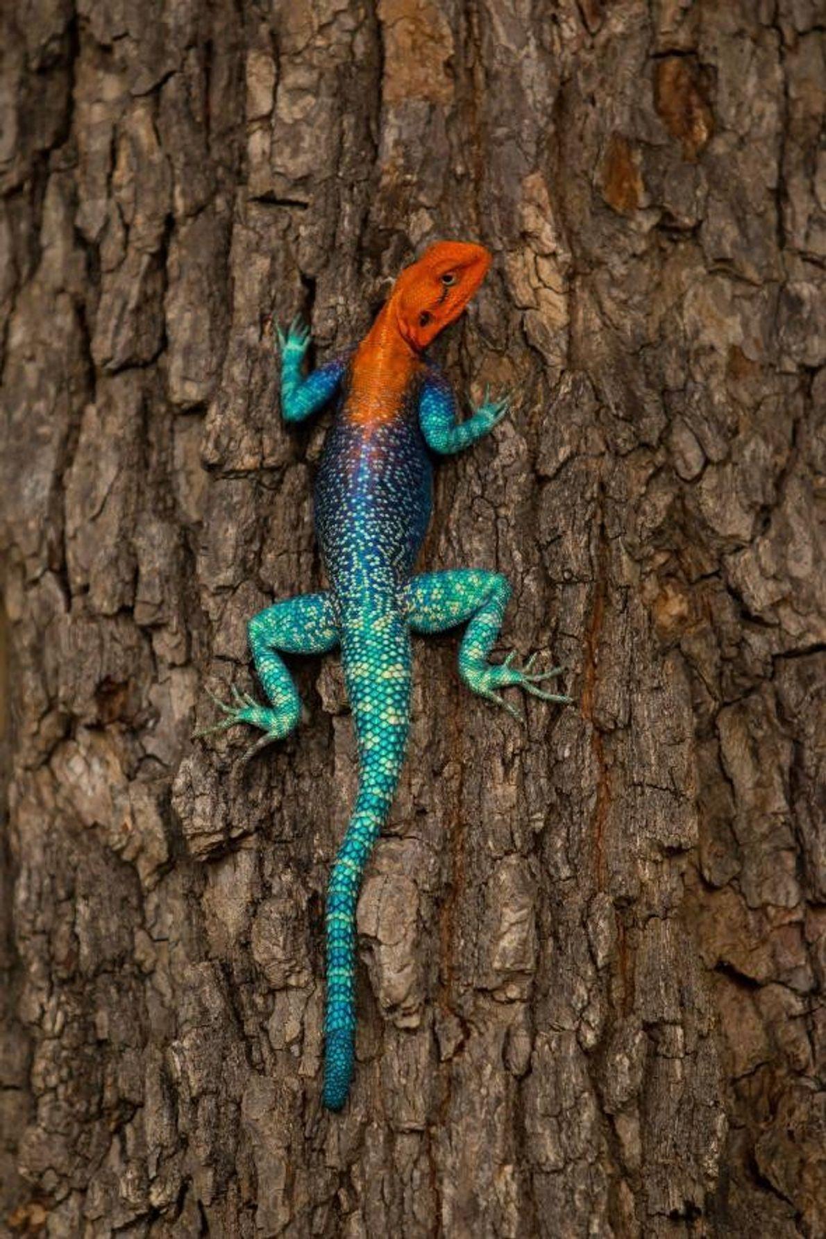 Lézard Agama, parc national de Ruaha, région de Morogoro, Tanzanie.