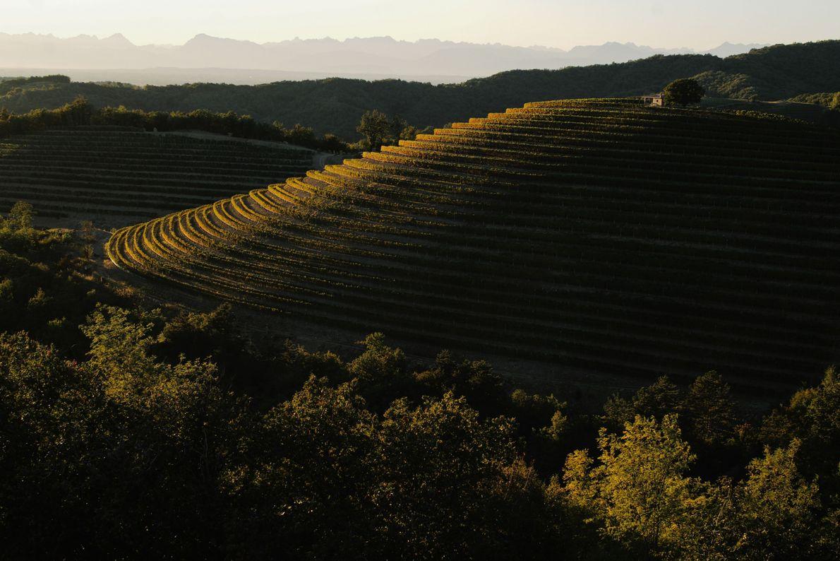 Les premiers rayons du soleil illuminent les vignobles historiques de la région viticole de Goriška, nichés ...