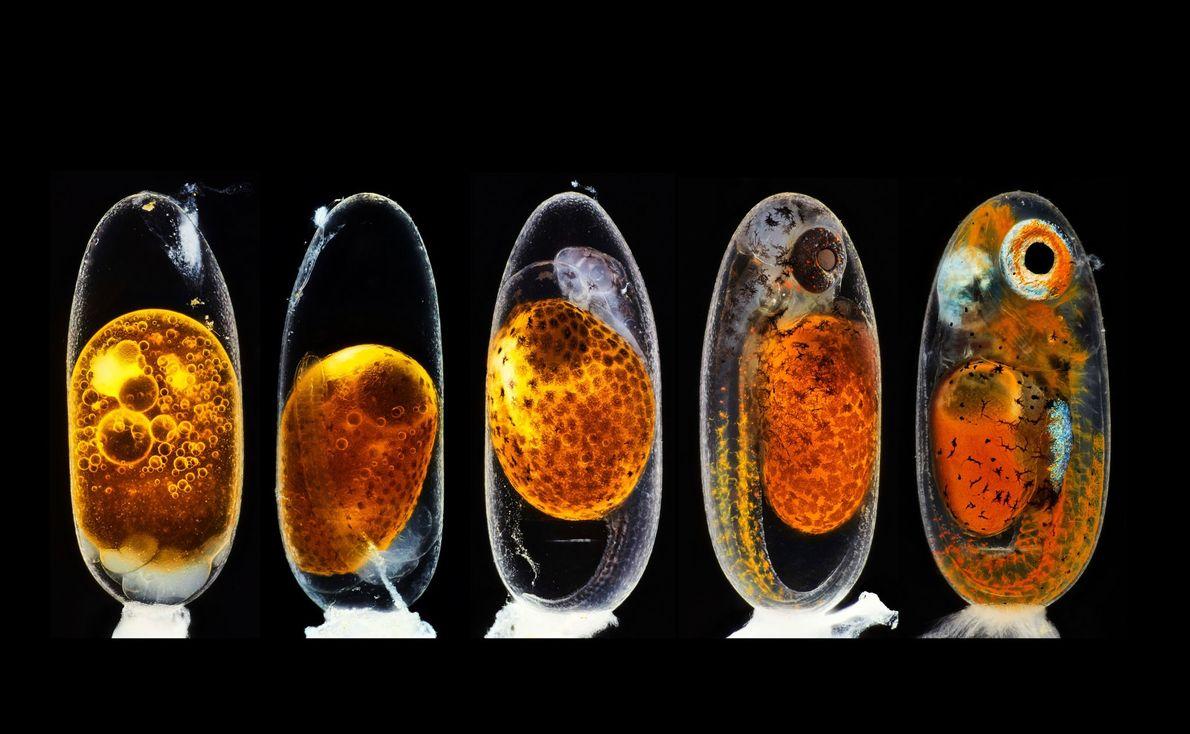 Le photographe allemand Daniel Knop a rassemblé cinq images d'un embryon de poisson-clown afin d'illustrer les ...
