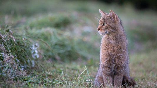 Le chat forestier, le petit félin à la conquête de l'Hexagone