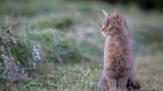 Le chat forestier affiche un poids moyen de 5 kg pour les mâles et 3,5 kg ...