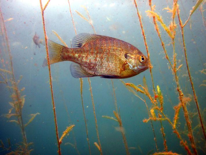 Un crapet arlequin (Lepomis macrochirus) nage parmi les plantes aquatiques dans un lac du Wisconsin, aux ...