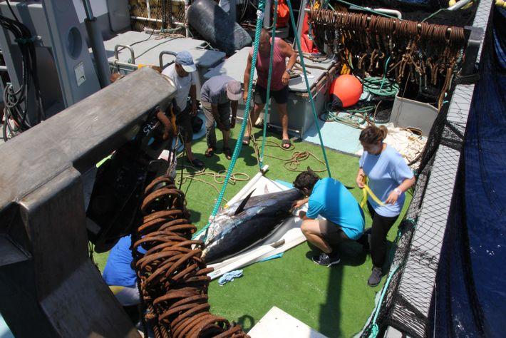 Marquage d'un thon de 250 kg sur un senneur.