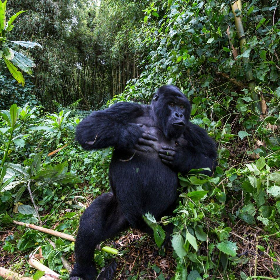 Pourquoi les gorilles mâles se frappent-ils le torse ?