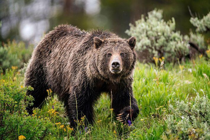 Des grizzlis, comme celui-ci photographié dans le Wyoming, vivent dans la vallée de Yaak. Cette espèce est ...