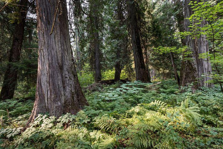 Des fougères tapissent le sol forestier à Ross Creek Cedar Grove, dans la forêt nationale de Kootenai.