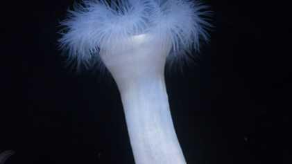Découverte : les anémones de mer se nourrissent (aussi) de fourmis