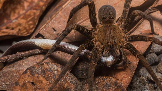 Découverte: les araignées du monde entier mangent des serpents