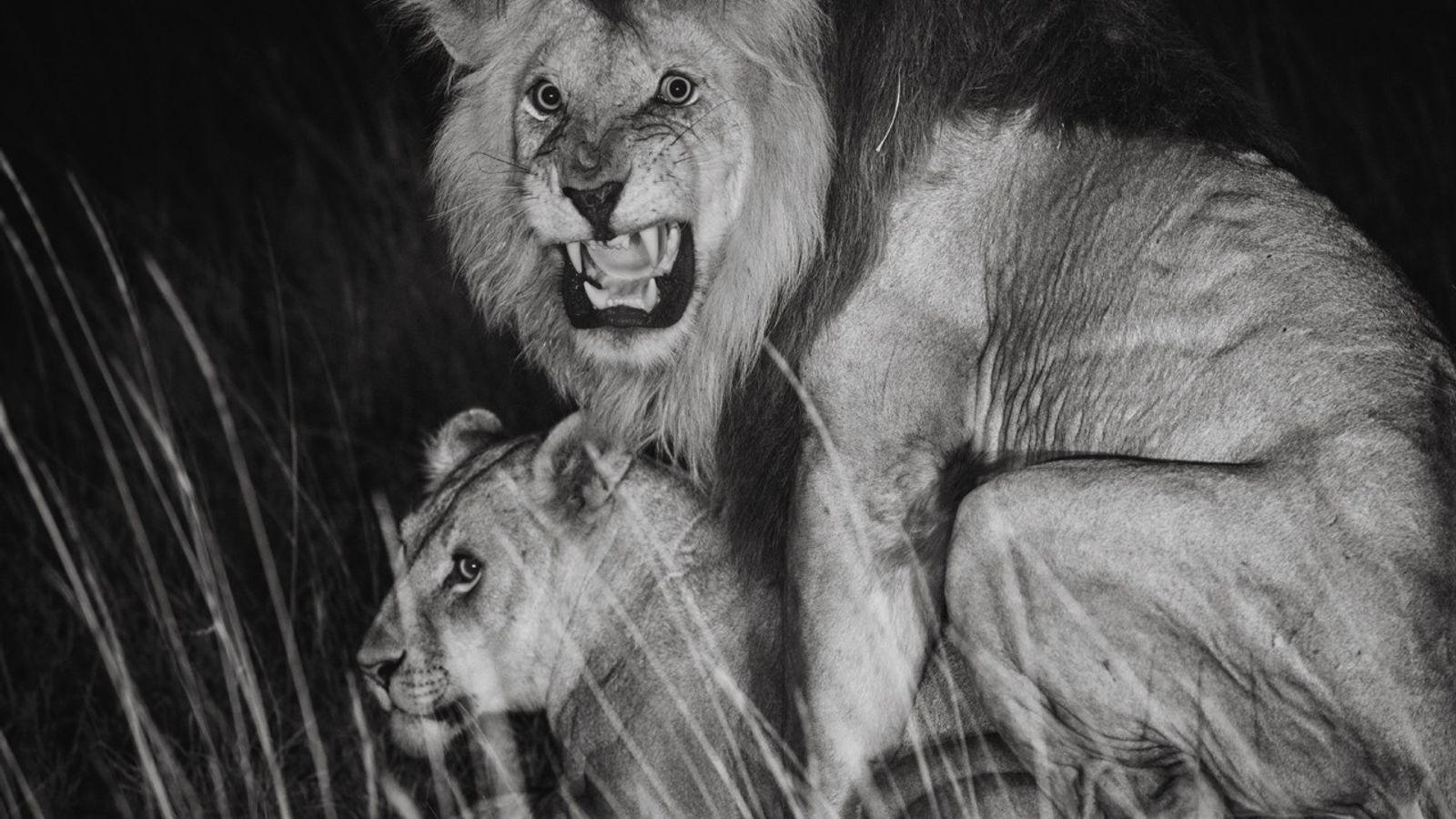 C-Boy s'accouple avec une femelle. Après avoir procréé, un mâle « résident » peut être supplanté. ...