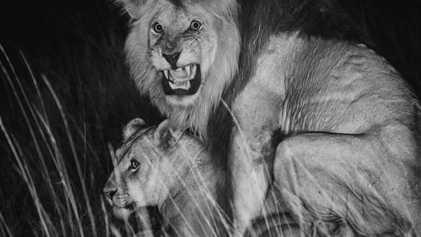 L'œstrus chez les lions : 96 heures pour se reproduire