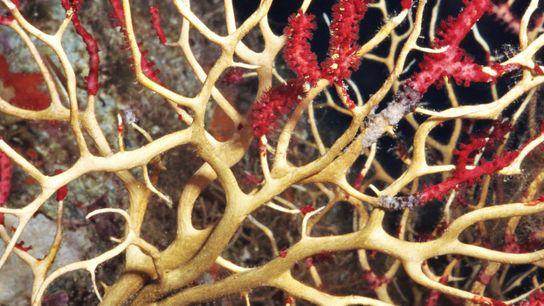 Paramuricea clavata à Port-Cros lors de la vague de chaleur sous-marine de 1999.