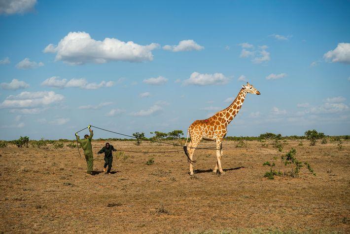 Dans les réserves de Loisaba et de Leparua, des scientifiques ont muni de colliers 11 girafes.