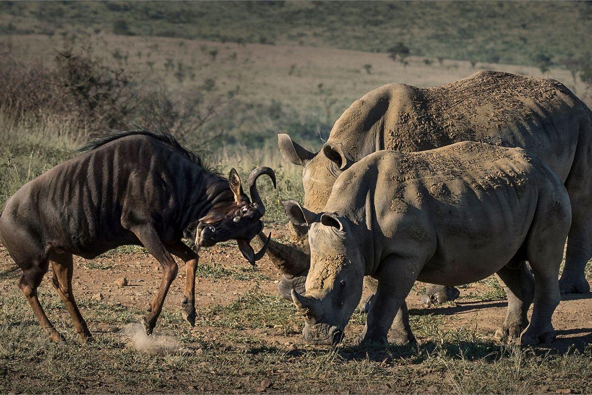 Deux rhinocéros s'unissent pour faire déguerpir un gnou.