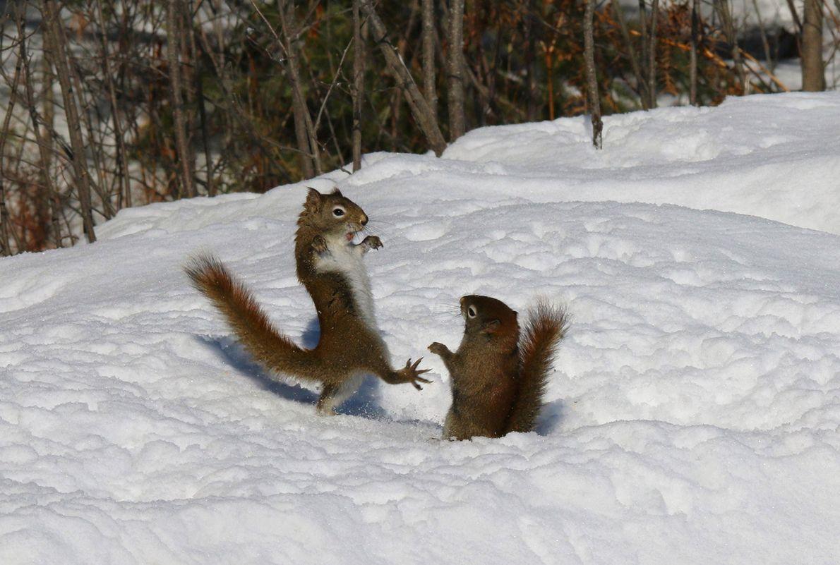 Deux écureuils roux se disputent en Ontario.