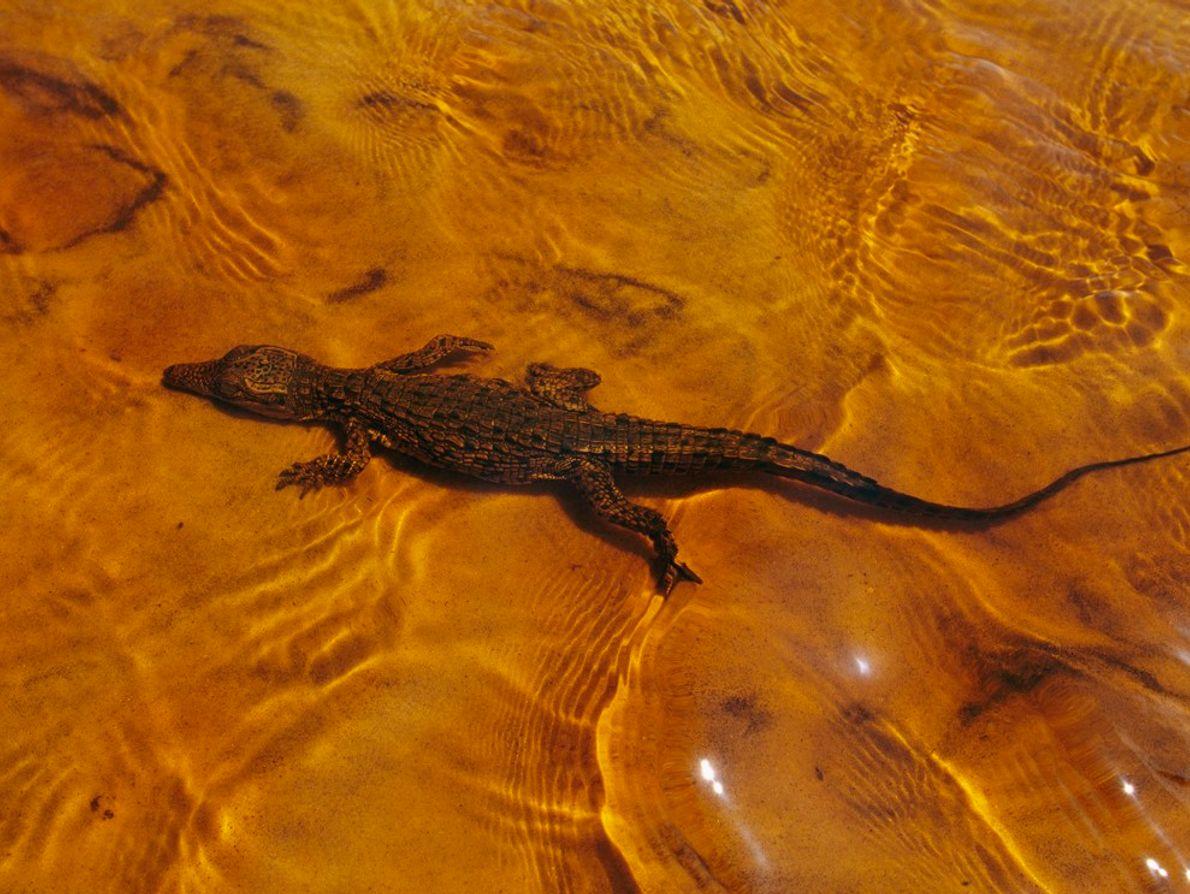 Les mères crocodiles du Nil pondent leurs œufs dans des nids enterrés qu'elles rouvrent dès les ...