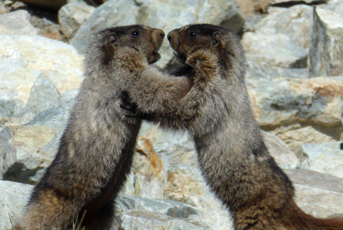 Deux marmotes sont aux prises au Canada.