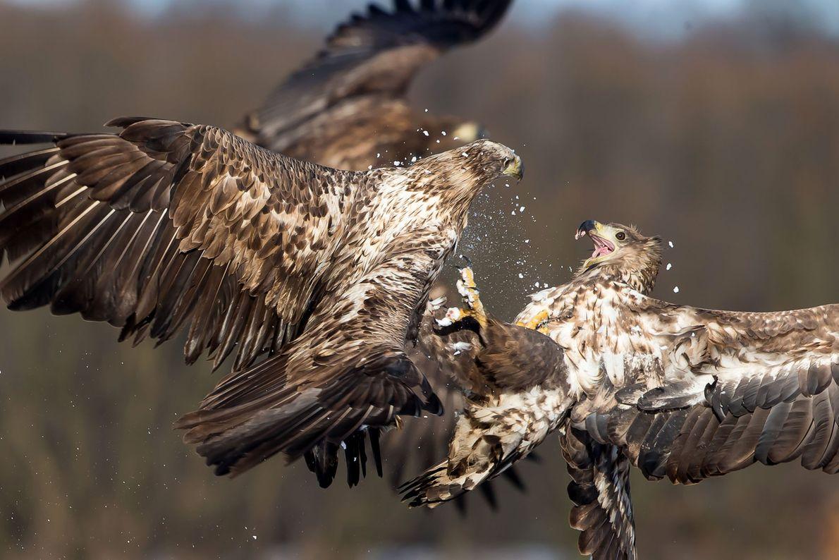 Affrontement entre deux pygargues à queues blanches en plein vol.