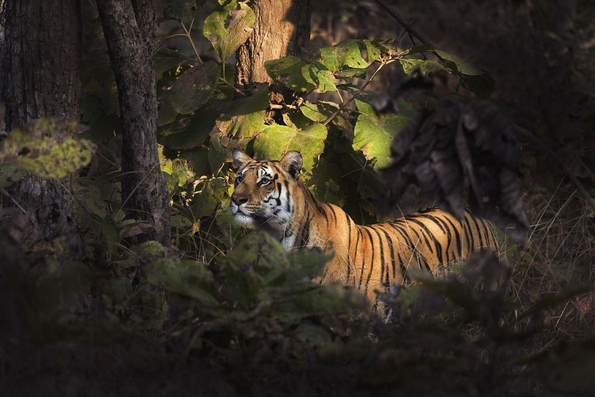 Tigre, Gumtara, Madhya Pradesh, Inde.