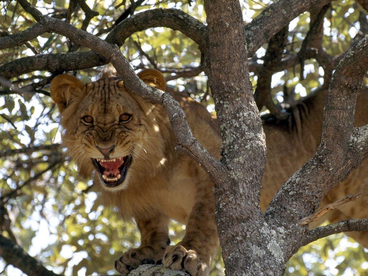 Réveillée en pleine sieste, une lionne grogne depuis arbre près du fleuve Zambèze.