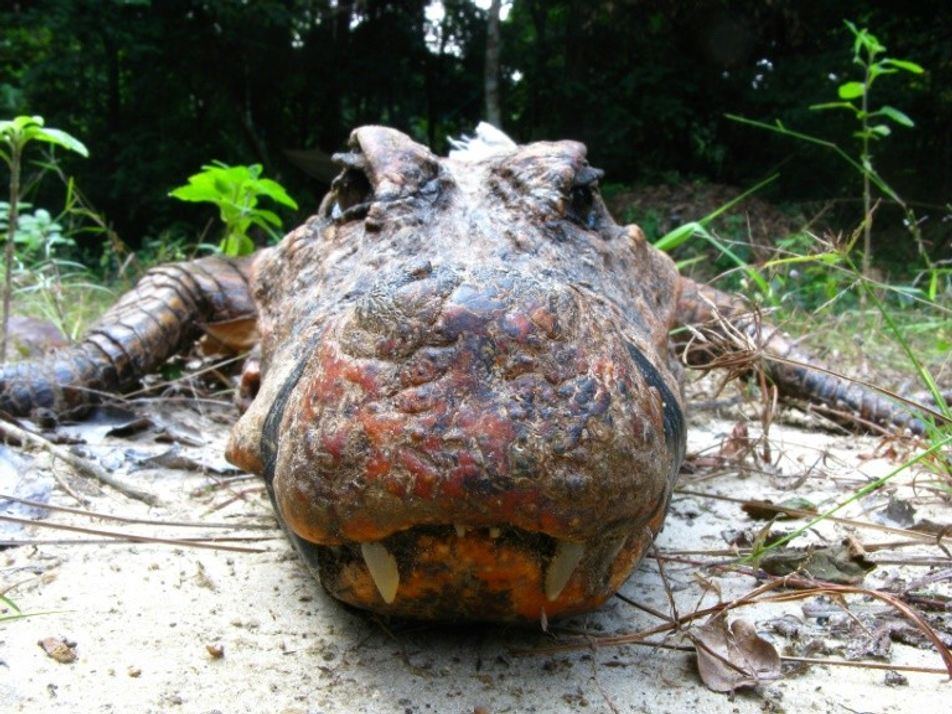 Gabon : découverte de crocodiles oranges uniques au monde