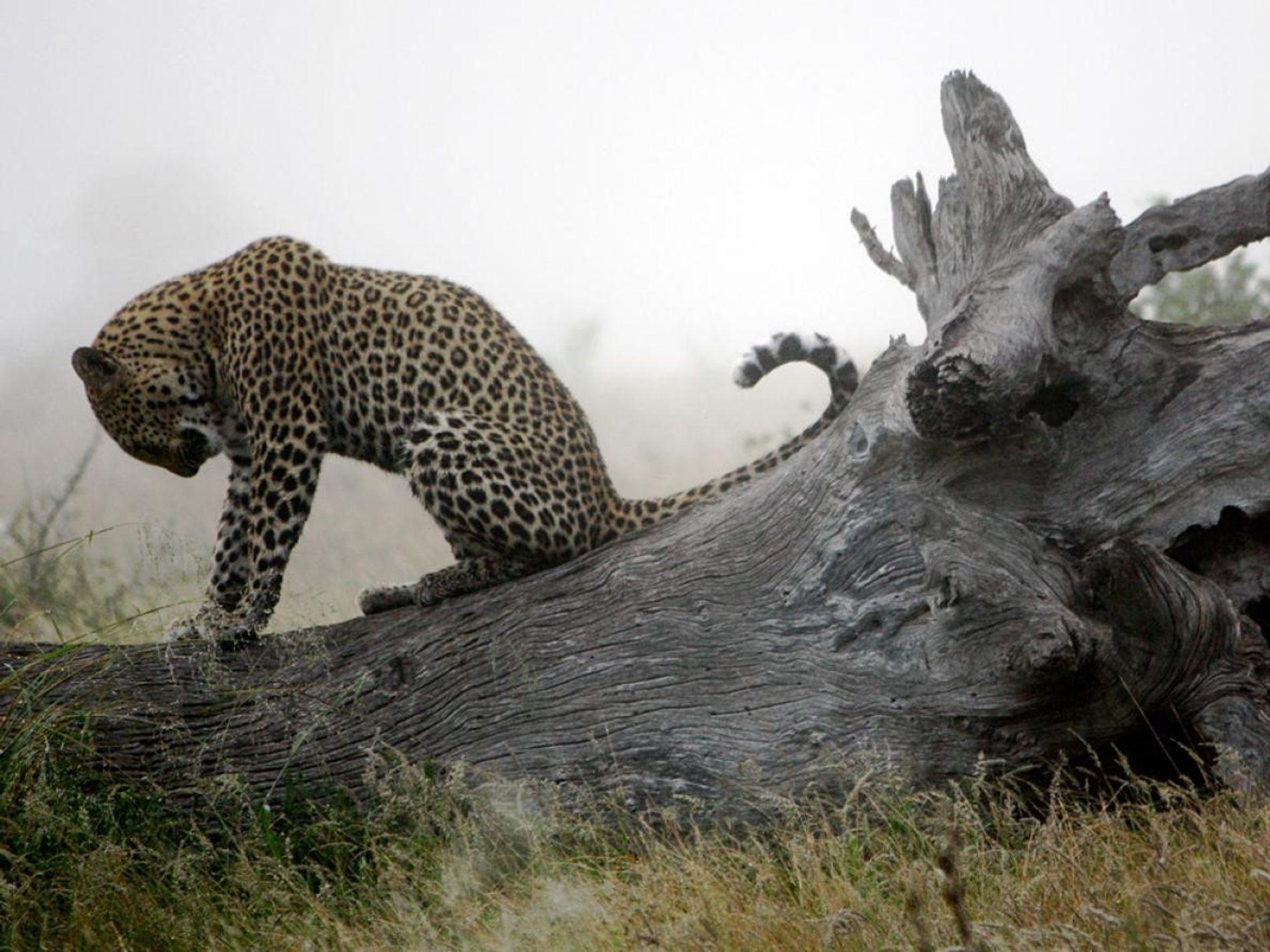 Un matin d'hiver en Afrique du Sud, un jeune léopard savoure un moment de calme sur ...