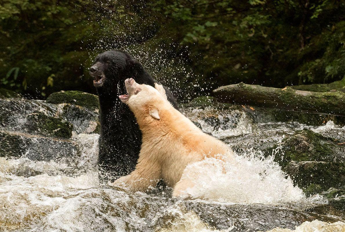 Choc des titants entre un ours noir (à gauche) et un ours Kermode, en Colombie-Britannique.