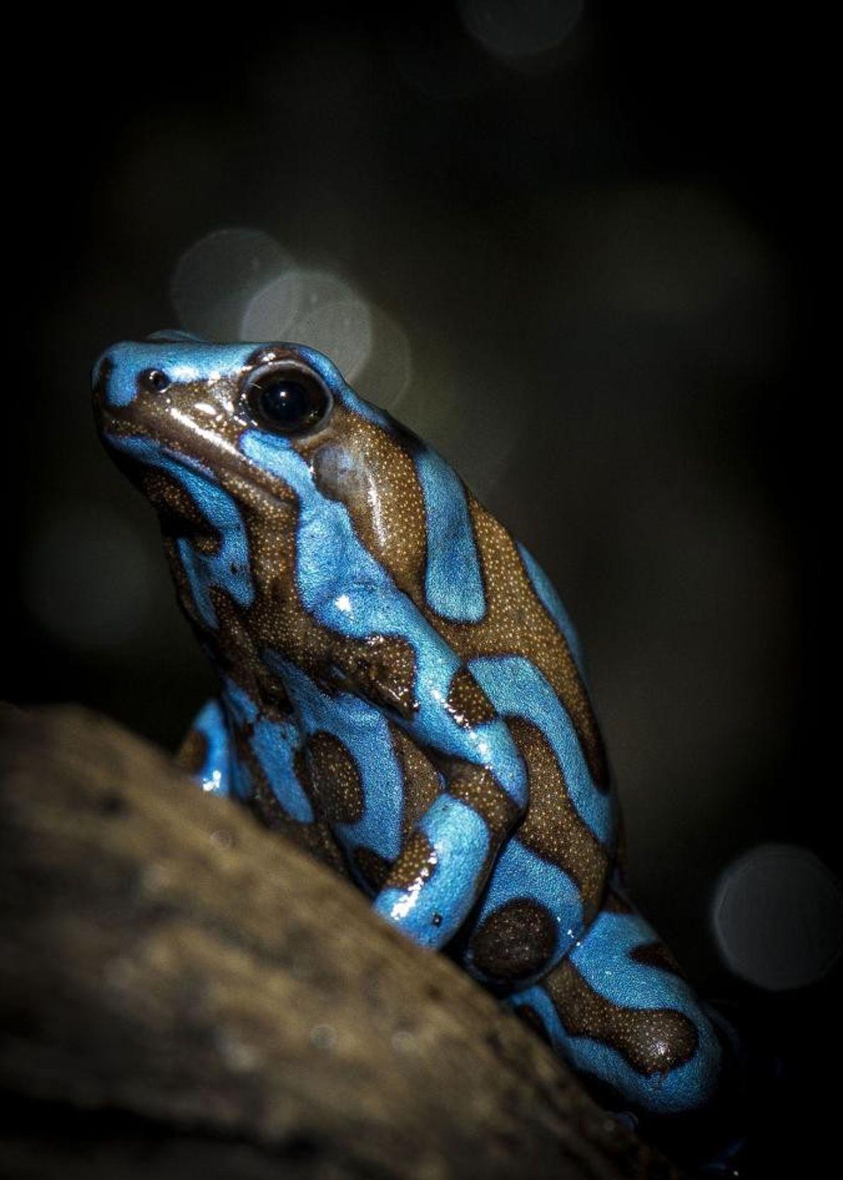 Dendrobatidae ou grenouille à flèche empoisonée, Houston, Texas, États-Unis.