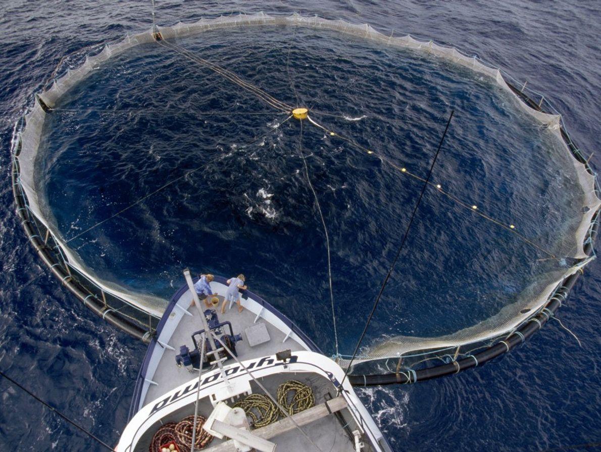 Filet de thons, océan Austral