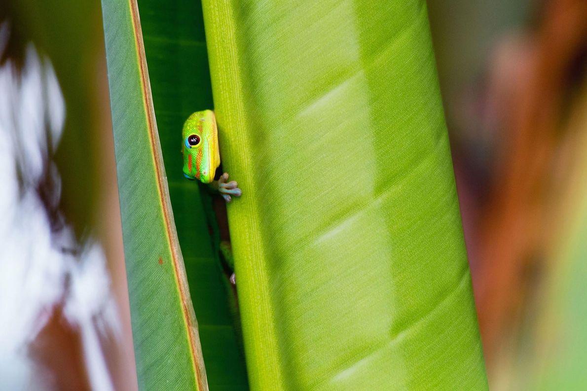 Gecko, Kekaha, Hawaï.