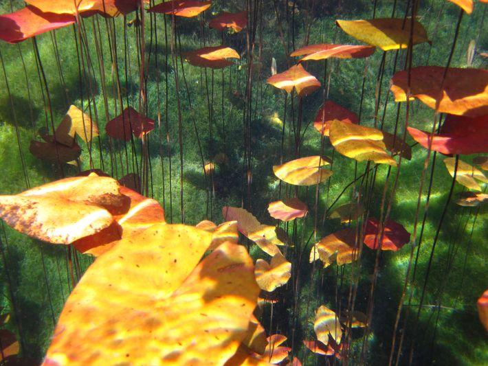 Plantes aquatiques dans un cenote d'eau douce à Quintana Roo, Mexique.