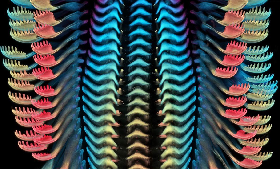 Cette série de cils aux couleurs de l'arc-en-ciel est en fait le dessus de la langue ...
