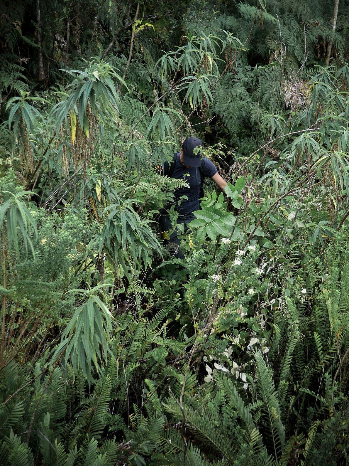 Alexis Gorissen se fraye un passage dans la végétation dense de la forêt du Grand Brûlé, …