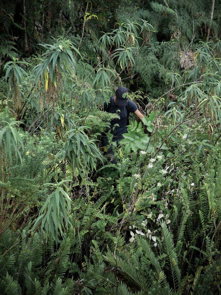 Alexis Gorissen se fraye un passage dans la végétation dense de la forêt du Grand Brûlé, ...