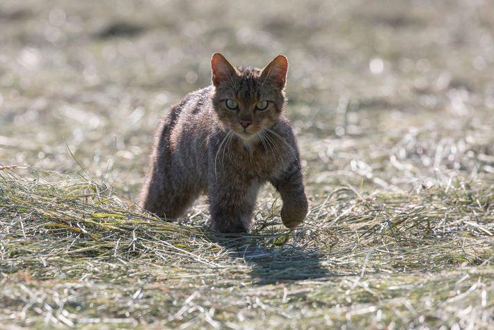 On le trouve le chat forestier dans les forêts et dans les prairies. La population était principalement ...