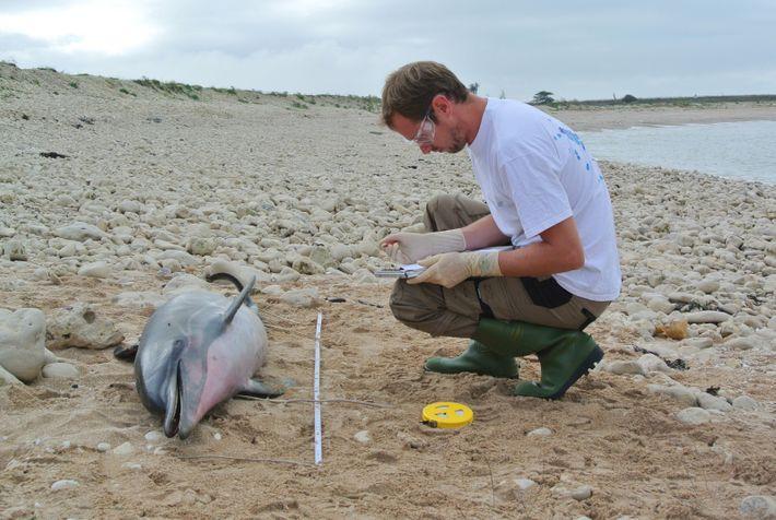 Environ 80 % d'entre eux sont morts de captures accidentelles de pêche. Ils portent souvent les ...