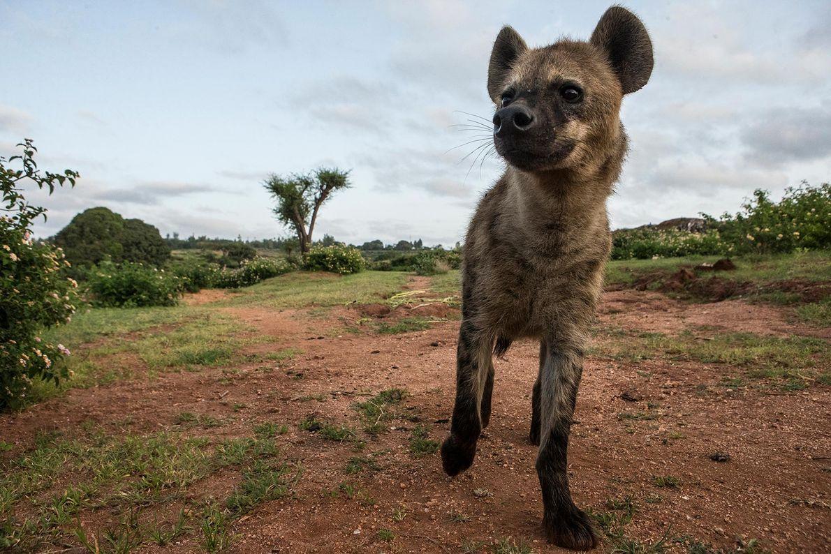 Une hyène se dirige vers sa tanière, située à proximité d'une décharge.
