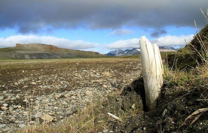 Des défenses de mammouths laineux émergent parfois du pergélisol sur l'île Wrangel, au nord-est de la ...