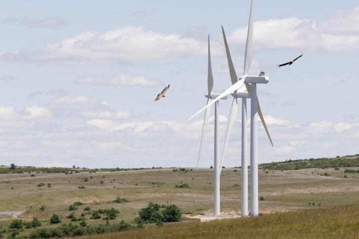 Le Vautour fauve Gyps fulvus est l'une des principales victimes de collisions avec des éoliennes en ...