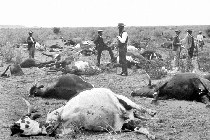 Peste bovine épizootique en Afrique du Sud en 1896.