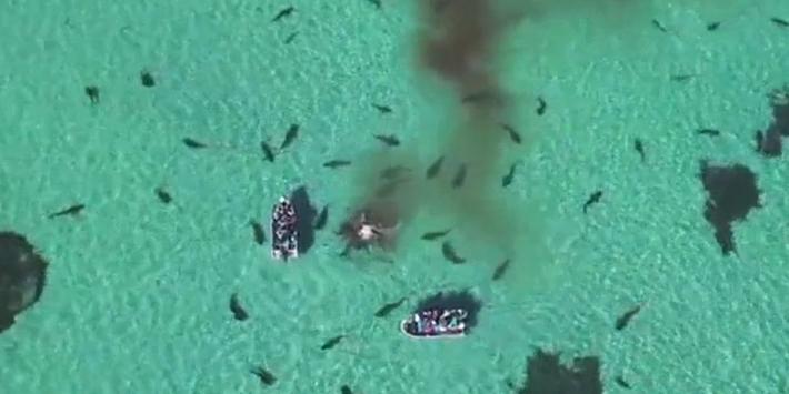 Des requins-tigres dévorent une baleine morte
