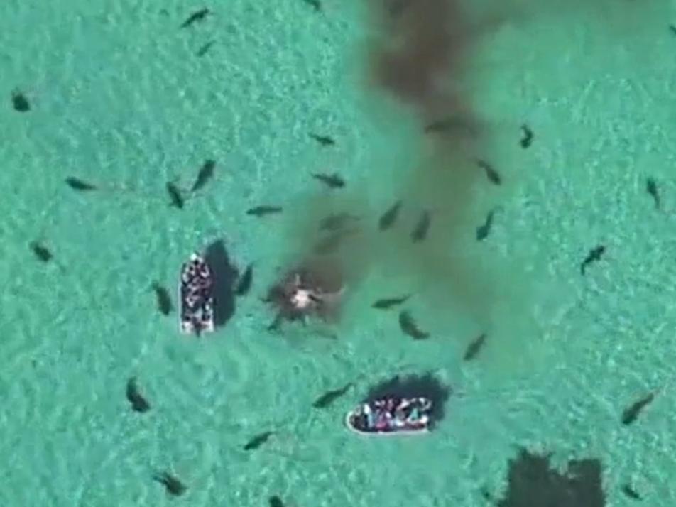 Quand des requins-tigres dévorent une baleine morte