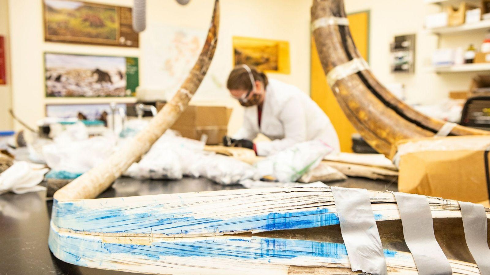 La défense de mammouth fendue (au premier plan) se situe à l'Alaska Stable Isotope Facility à ...