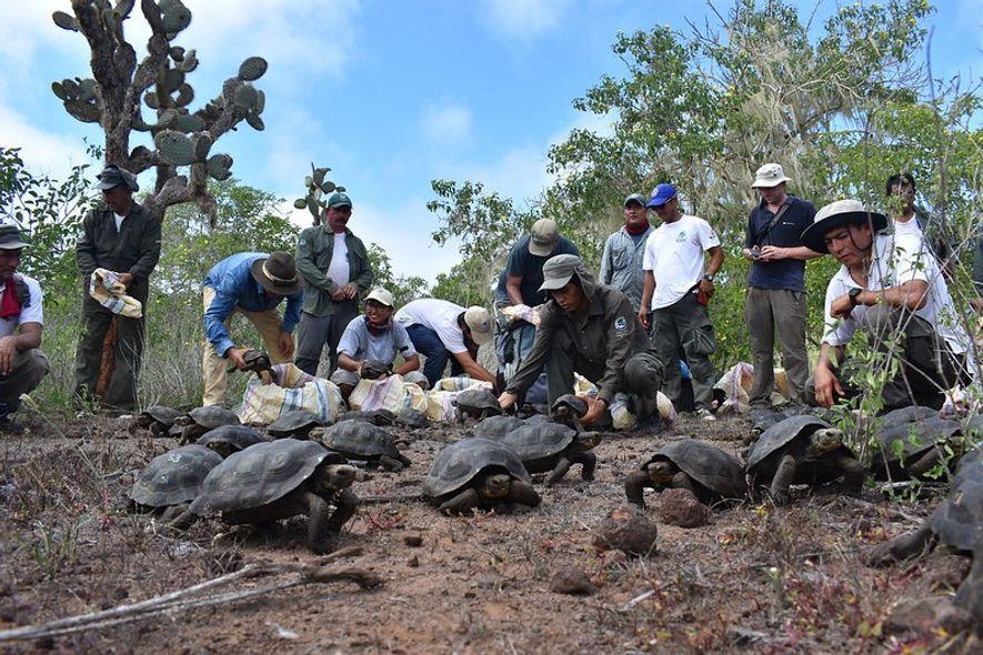 Des tortues juvéniles de l'île Española sont libérées sur l'île de Santa Fe.