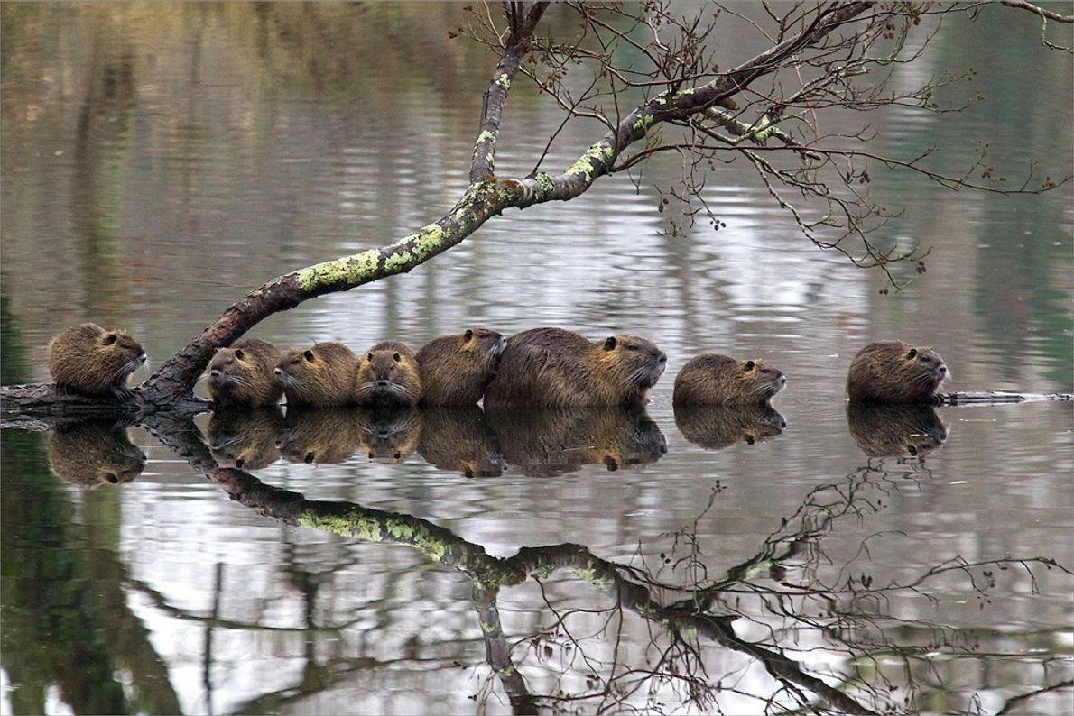 Famille de ragondins en France