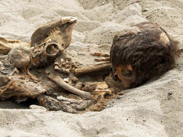 Les restes d'un enfant et d'un animal sacrifiés sont partiellement cachés dans la fosse peu profonde ...