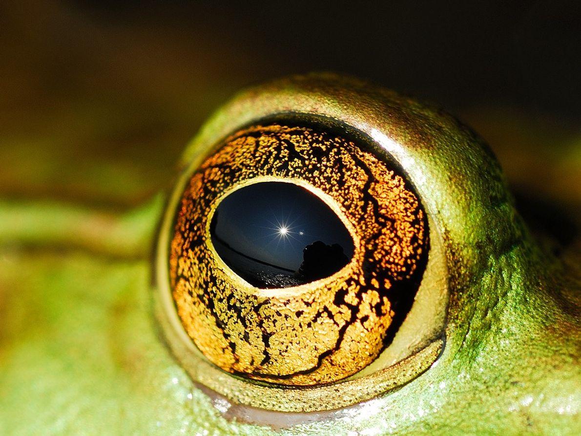Œil de grenouille-taureau, Ontario, Canada