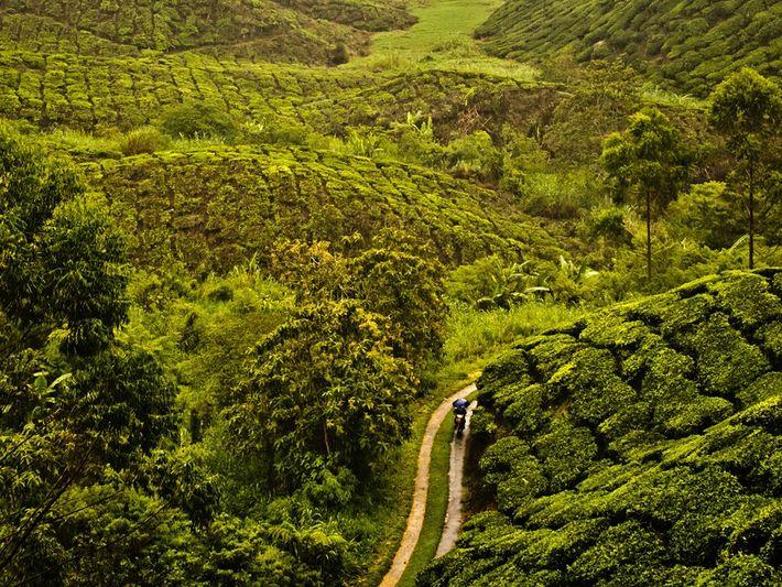 Plantation de thé, Malaisie