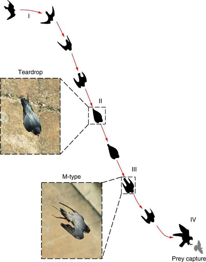 Trajectoire de vol d'un faucon pèlerin en chasse.