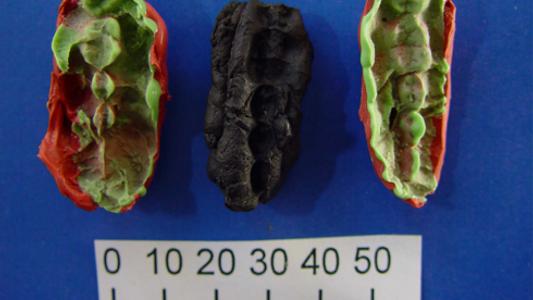 De l'ADN humain vieux de 9 000 ans retrouvé dans du mastic